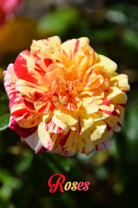 Roses-72-555