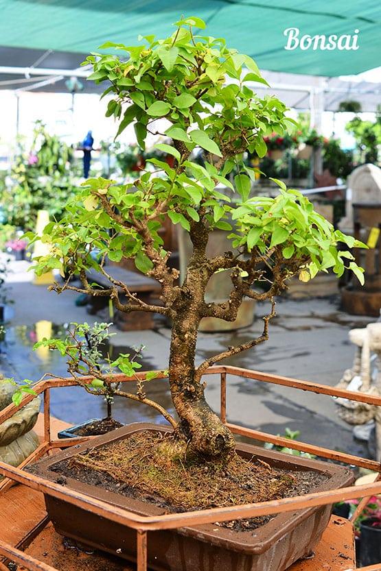 bonsai-72-555x832-60