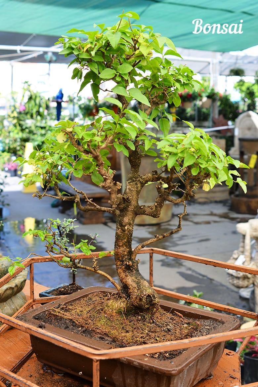 Bonsai Plants Succulents
