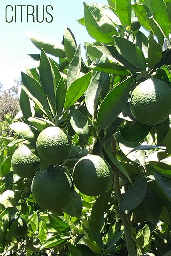 citrus-72-555