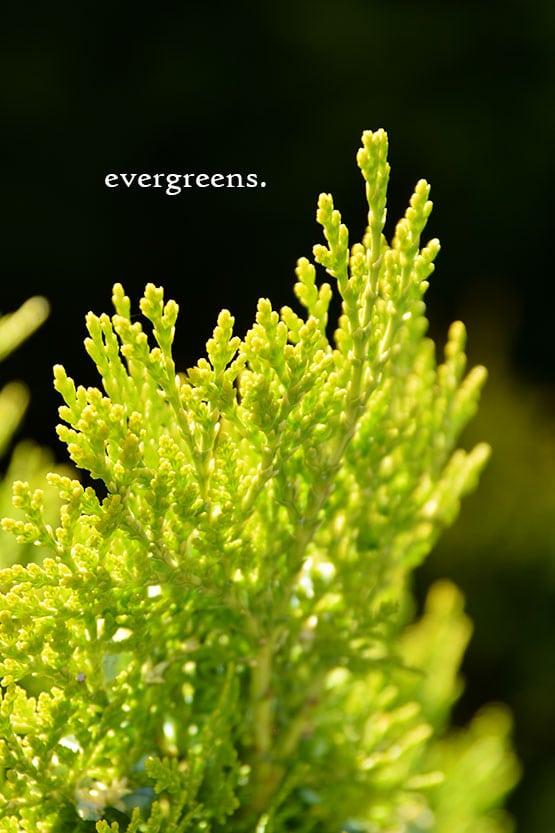 evergreens-72-555x832-60