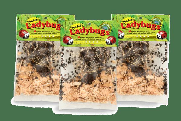 live-ladybugs