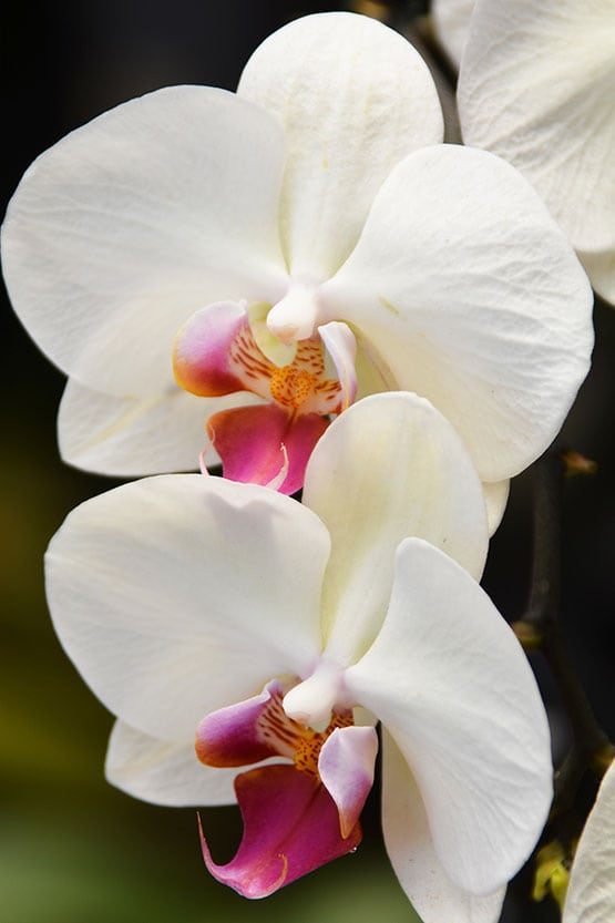 orchids-72-555-2