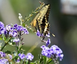 attract-pollinators-to-my-garden-butterfly-pollinator