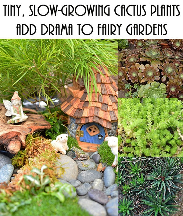 Tiny, Slow-Growing Cactus Plants Add Drama to Fairy Gardens - Green ...