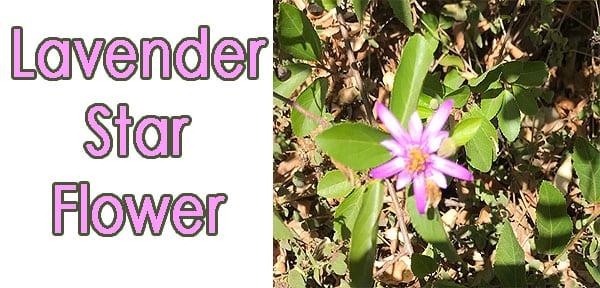 Lavender Star Flower