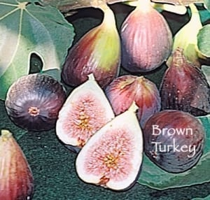 brown turkey fig