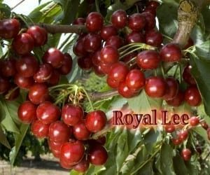 royal lee cherry